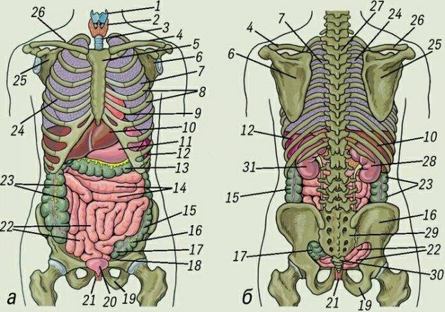 Схема строения внутренних органов человека добавил reflekto корабельщики схема строения внутренних органов человека...
