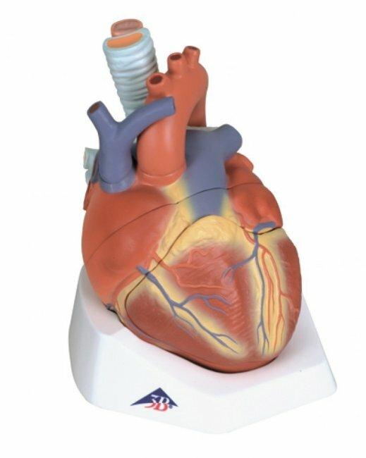 Боль в сердце: «за» и «против»